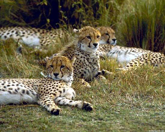 hvor hurtigt kan en leopard løbe