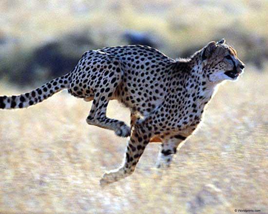hvor gammel kan en gepard blive