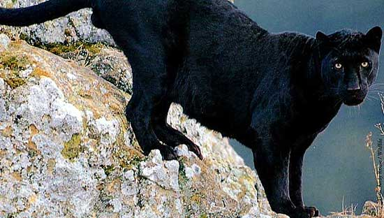 sorte løver