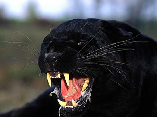 hvor lever den sorte panter