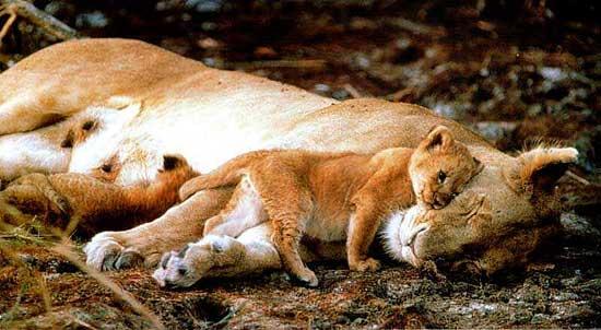 løvens fjender