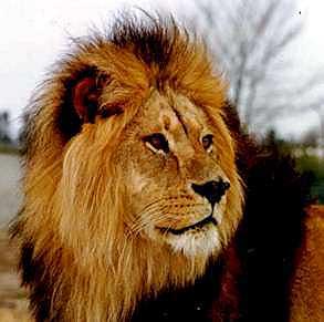 vægt løve