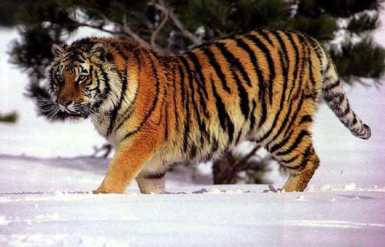 hvor gammel kan en tiger blive