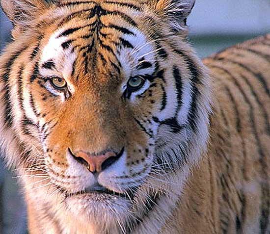 sibiriske-tiger4.jpg