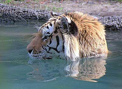 tiger vægt